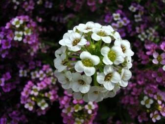 Алиссум (фото) — выращивание из семян и уход, сорта и виды » УДачные советы