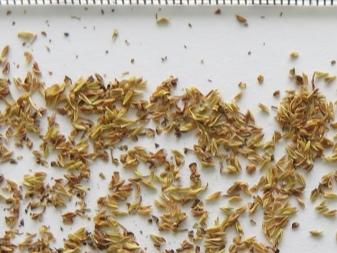 Спирея японская посадка и уход в открытом грунте в сибири