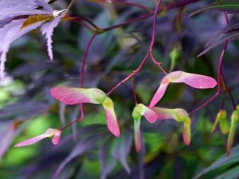 Laceleaf Japanese Maple: Full Care & Propagation Guide 1