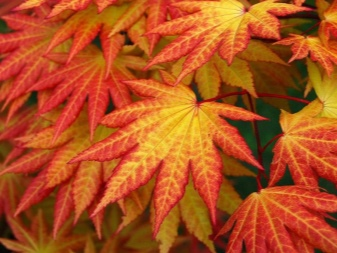 Laceleaf Japanese Maple: Full Care & Propagation Guide 4