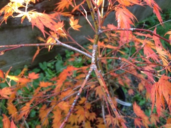 Laceleaf Japanese Maple: Full Care & Propagation Guide 25