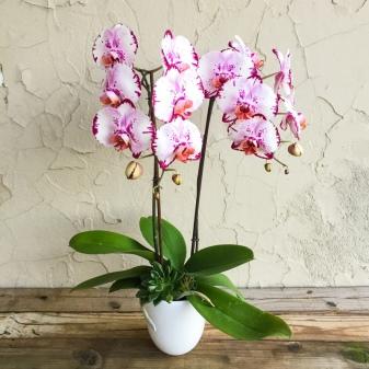Болезни орхидеи фаленопсис на листьях (с фото) и их лечение, черные пятна и белый налет из-за заболеваний и вредителей
