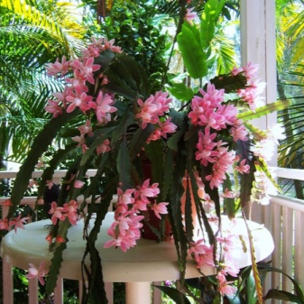 Epiphyllum Orchid Cactus : The Advanced Care Guide 7