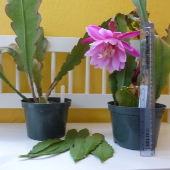 Epiphyllum Orchid Cactus : The Advanced Care Guide 20