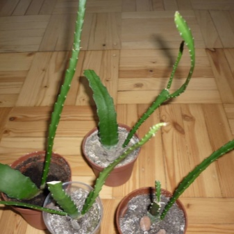 Epiphyllum Orchid Cactus : The Advanced Care Guide 27
