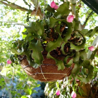 Epiphyllum Orchid Cactus : The Advanced Care Guide 4