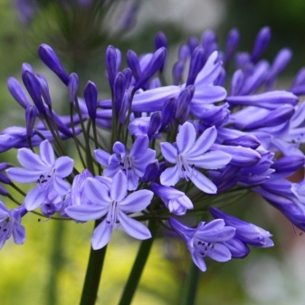 Lily of the Nile (Agapanthus Plant): Brilliant Grow & Care Tips 9