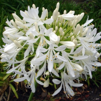 Lily of the Nile (Agapanthus Plant): Brilliant Grow & Care Tips 12