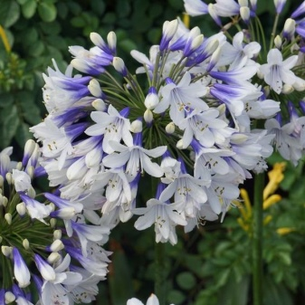 Lily of the Nile (Agapanthus Plant): Brilliant Grow & Care Tips 13