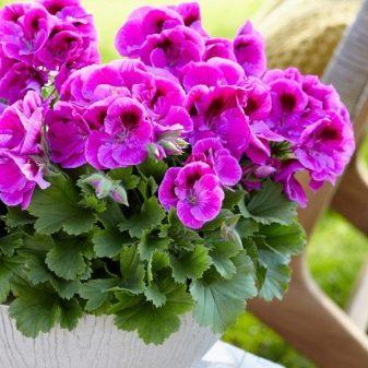 Цветок пеларгония описание