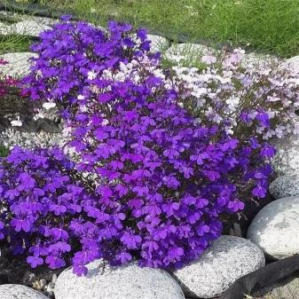 Когда сеять на рассаду лобелию при выращивании её из семян и как ухаживать за растением, а также в какие сроки и как сажать цветок в грунт?