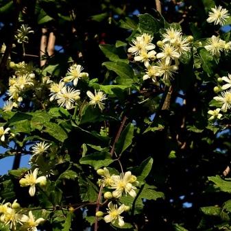 Клематис жгучий мелкоцветковый белый выращивание и уход