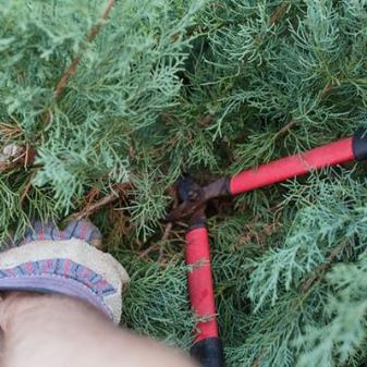Можжевельник блю стар посадка и уход в открытом грунте весной