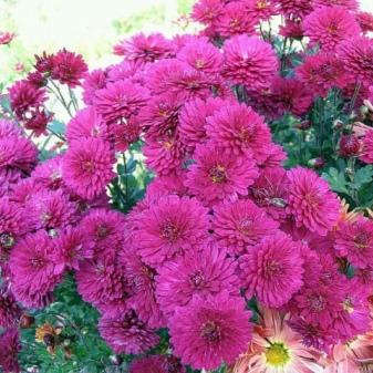 Хризантема дальневосточная красавица