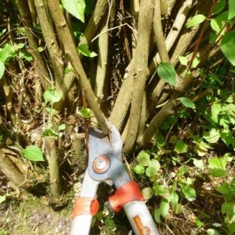 Жасмин посадка и уход в открытом грунте на урале
