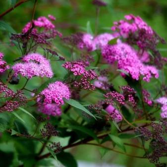 Спирея розовая посадка и уход в открытом грунте