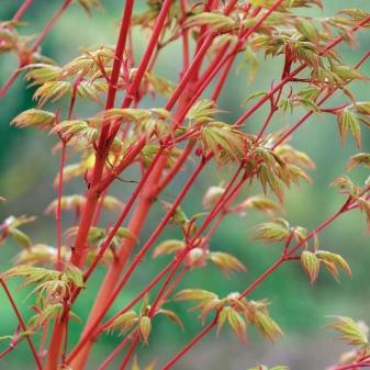 Laceleaf Japanese Maple: Full Care & Propagation Guide 5