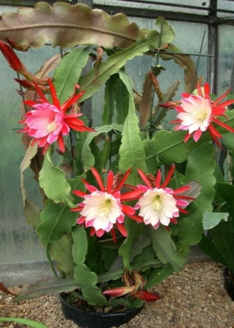 Epiphyllum Orchid Cactus : The Advanced Care Guide 12