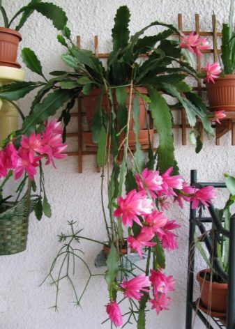 Epiphyllum Orchid Cactus : The Advanced Care Guide 13