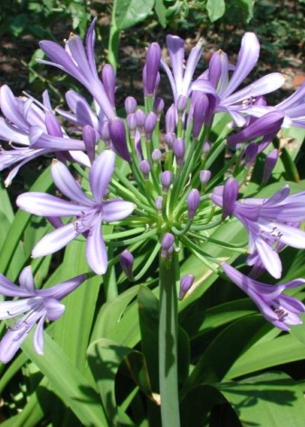 Lily of the Nile (Agapanthus Plant): Brilliant Grow & Care Tips 7