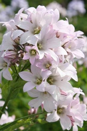 Колокольчик молочноцветковый: описание, посадка и уход