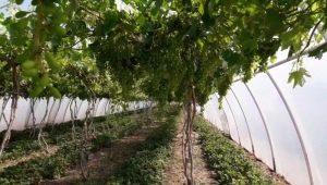 Теплица для винограда: виды и их особенности