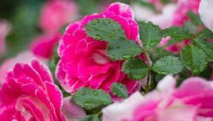 Французские розы: описание, сорта и их выращивание