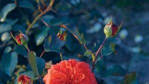 Характеристика и выращивание сорта роз «Салита»