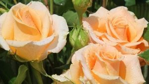 Кремовые розы: описание сортов и использование в ландшафтном дизайне