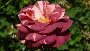 Описание и выращивание роз сорта «Брауни»