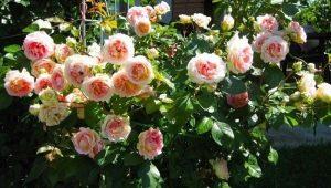 Описание и выращивание роз сорта «Цезарь»