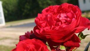 Описание роз сорта «Флорентина» и правила их выращивания