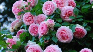 Плетистая роза «Пьер де Ронсар»: описание сорта, особенности посадки и ухода