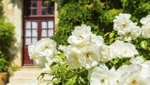 Популярные сорта белых роз