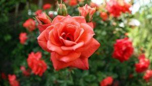 Разновидности и описание ремонтантных роз