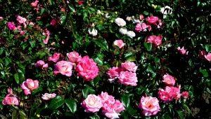 Роза «Хендель»: описание, посадка и уход