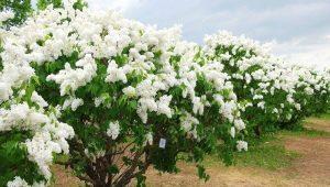 Сирень амурская: сорта и правила ухода