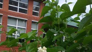 Сирень «Мадам Лемуан»: описание сорта, особенности посадки и ухода