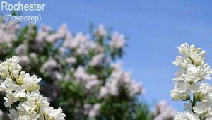 Сирень «Рочестер»: особенности, описание и выращивание