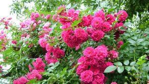 Сорта плетистых роз