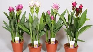 Растение куркума: что такое, выращивание в домашних условиях