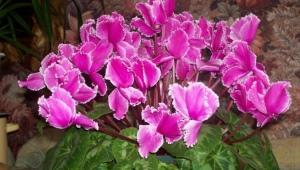 Цикламен персидский: виды и выращивание в домашних условиях