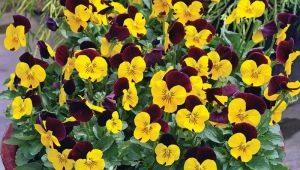 Фиалка рогатая: особенности, сорта и выращивание