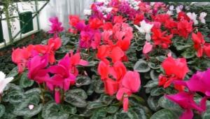 Как хранить и посадить клубни цикламена?