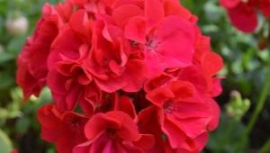 Разновидности пеларгонии Bold и их выращивание
