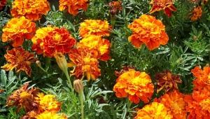 Сорта красных бархатцев и их выращивание