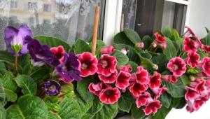Виды и сорта глоксинии
