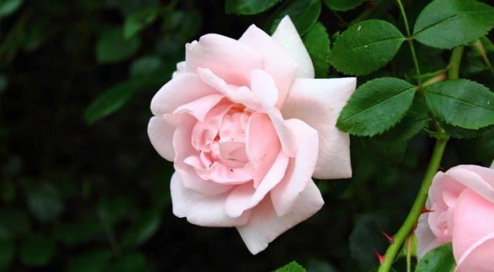 Плетистая роза Нью Даун (New Dawn): посадка и уход