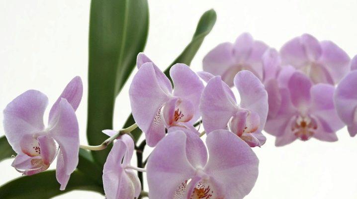 Как дома вырастить из семян любой вид орхидеи