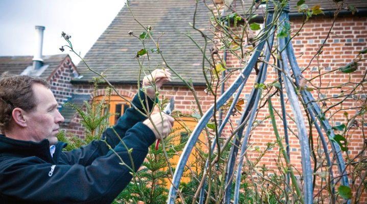 Особенности обрезки плетистых роз на зиму